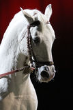 Detail of a thoroughbred lipizzan stallion head from profile Royalty Free Stock Photography