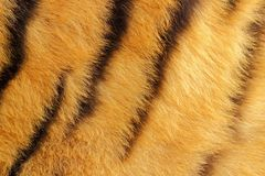 Detail of tiger fur Royalty Free Stock Photography