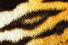 Detail of tiger fur texture. Ready for your design, beautiful black stripes Royalty Free Stock Image
