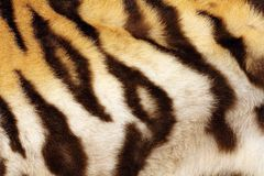 Detail on tiger real black stripes Royalty Free Stock Photo