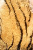 Detail of tiger real stripes on fur Royalty Free Stock Photography