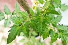 Detail of tomato plant Royalty Free Stock Image