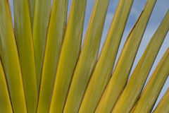 Detail of Traveller's Palm Stock Images