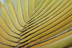 Detail of Traveller's Palm. Thailand Royalty Free Stock Image
