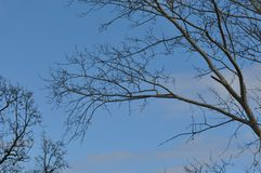 Detail of  tree branches. Detail of tree branches on clear sky background Royalty Free Stock Image