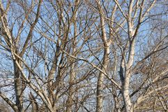 Detail of  tree branches. Detail of tree branches on clear sky background Stock Image