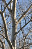 Detail of tree branches. On clear sky background Stock Photo