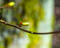 Detail of tree bud in spring Royalty Free Stock Photos