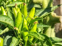 Detail of tree and Green chili pepper in the garden royalty free stock photography