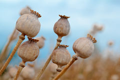 Detail of tree poppyheads on the field Royalty Free Stock Photography