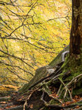 Detail of a tree's roots over a rock in autumn Royalty Free Stock Photography