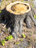 Detail of tree stump from recently cut tree. Royalty Free Stock Images