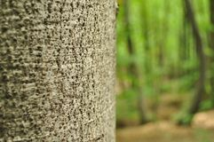 Detail of tree trunk with blurred forest in background Stock Image
