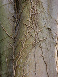 Detail of tree veins. Detail of dry veins on a smooth  gray tree crust Royalty Free Stock Images