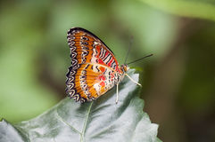 Detail of tropical orange butterfly Cethosia hypsea perching o Stock Photography