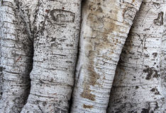 Detail of the trunk of a ficus macrophylla Royalty Free Stock Photos