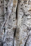 Detail of the trunk of a ficus macrophylla Stock Photos
