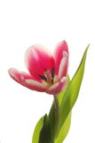 Detail of tulip Stock Photos