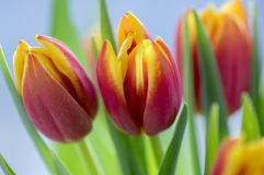 Detail of tulip bouquet, ornamental spring flowers, yellow red flower heads in bloom with leaves. Detail of tulip bouquet, ornamental spring flowers, yellow red royalty free stock photos