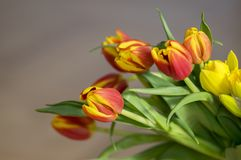 Detail of tulip bouquet, ornamental spring flowers, yellow red flower heads in bloom with leaves. On wooden table in daylight royalty free stock image