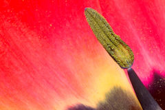 Detail of tulip pistil Stock Image