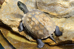 Detail of a turtle chinemys reevesii of three crests. Turtle Mauremys reevesii, in their natural habitat stock photography