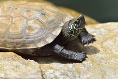 Detail of a turtle chinemys reevesii of three crests stock photo