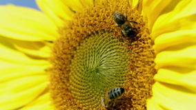 Detail of two bees tring to find the best pollen on the head of sunflower. Different shots of sunflower and bees gathering the pollen on flower head stock footage
