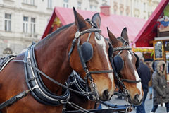 Detail of two carriage horses Royalty Free Stock Photography