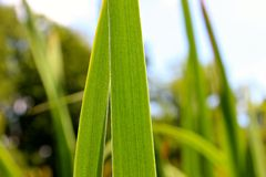 Detail of two long grass leafs. Are great for your online presentation, printed materials, graphics, design, roll up, banner, details Royalty Free Stock Image