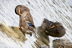 Detail of two mallard ducks. Two mallard ducks cleaning in water Royalty Free Stock Photos