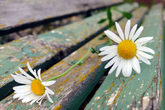 Detail of two white daisies on an old wooden park bench Stock Photography