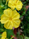 Mirabilis jalapa, or Bella di Notte, yellow flowers. Detail of two yellow flowers called Bella di Notte, in Italy. They are very light and very fragrant.Its royalty free stock photos