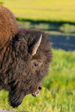 The detail of typical American Bison Stock Photography