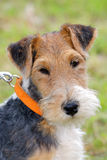 Detail of typical Fox Terrier Wire Royalty Free Stock Images