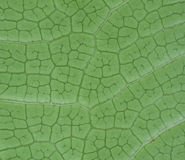Macro green leaf. Detail of under side macro green leaf Stock Photography
