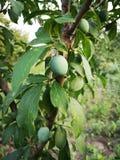 Unripe plum. Detail of unripe plum in a tree stock image