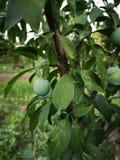 Unripe plum. Detail of unripe plum in a tree stock photos