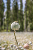 Detail of unripe Poppy-heads Stock Images