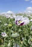 Detail of unripe white Poppyheads Stock Photography