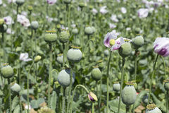 Detail of unripe white Poppyheads Stock Images