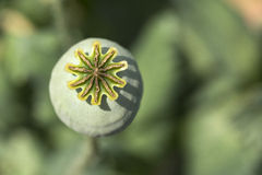 Detail of unripe white Poppyheads Royalty Free Stock Photo