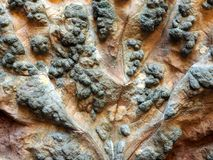 Puckered Grape Vine Leaf Affected by Rust Mites royalty free stock images