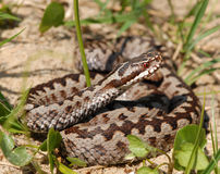 Upset common europian viper Royalty Free Stock Photos
