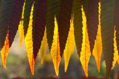 Detail van backlit gele de herfstbladeren Stock Afbeelding