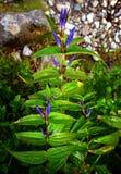 Detail van blauwe bloem Stock Foto