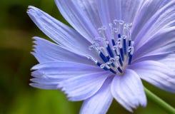 Detail van bloem van wild witlof. Stock Fotografie