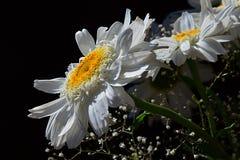 Detail van boeket van witte bloemen van osseoogmadeliefjes Leucanthemum Vulgare en kleine hulpbloemen op zwarte achtergrond stock foto's