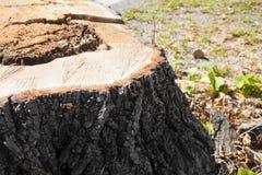 Detail van boomstomp van onlangs gesneden boom Royalty-vrije Stock Fotografie