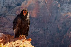 Detail van condor met grappige uitdrukking in het nationale park van Zion Stock Fotografie